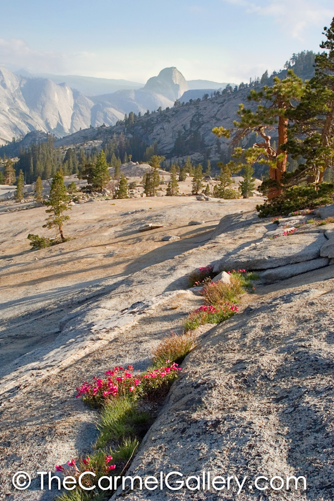 Penstemon and Half Dome