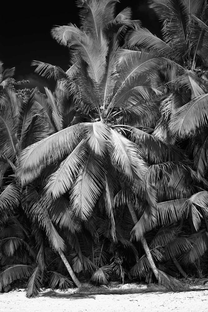 Gibney Beach Palm