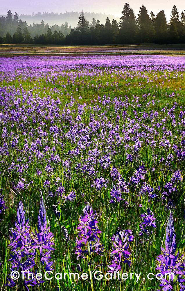 Symphony in Purple