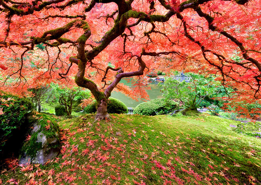 Japanese Maple In Fall Color Art By Fineart New Mexico