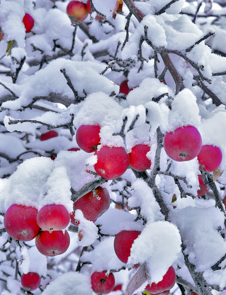 Winter Apples Art | Fine Art New Mexico