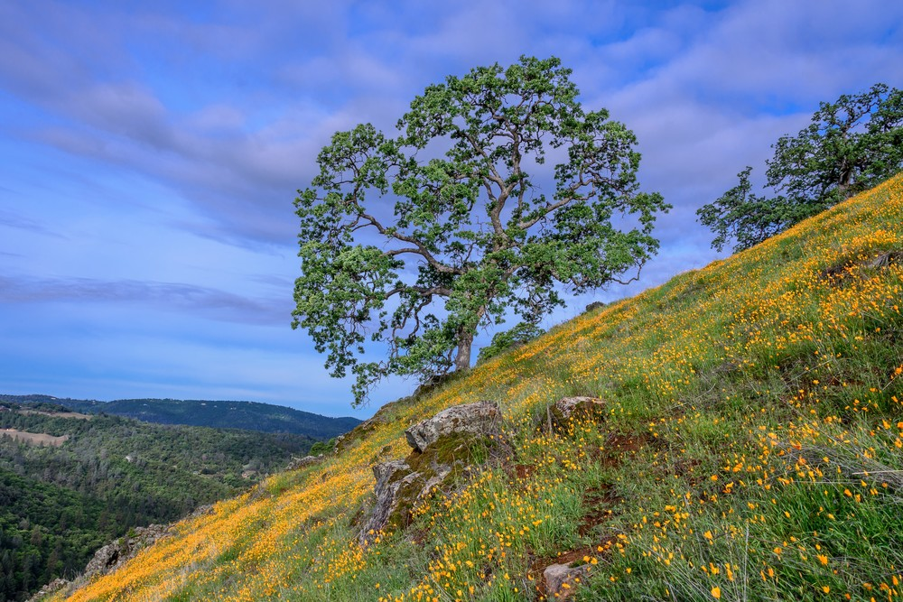 The oak stands mighty over the poppies on the ridge.
