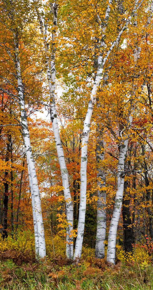 Autumn Birch