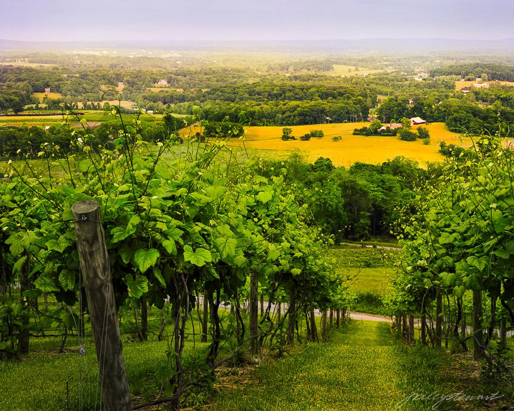 Walk Through the Vines,  Bluemont Vineyard