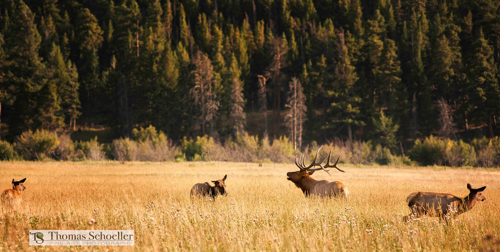 Stunning wildlife photography capturing the drama of the Elk rut season in Colorado
