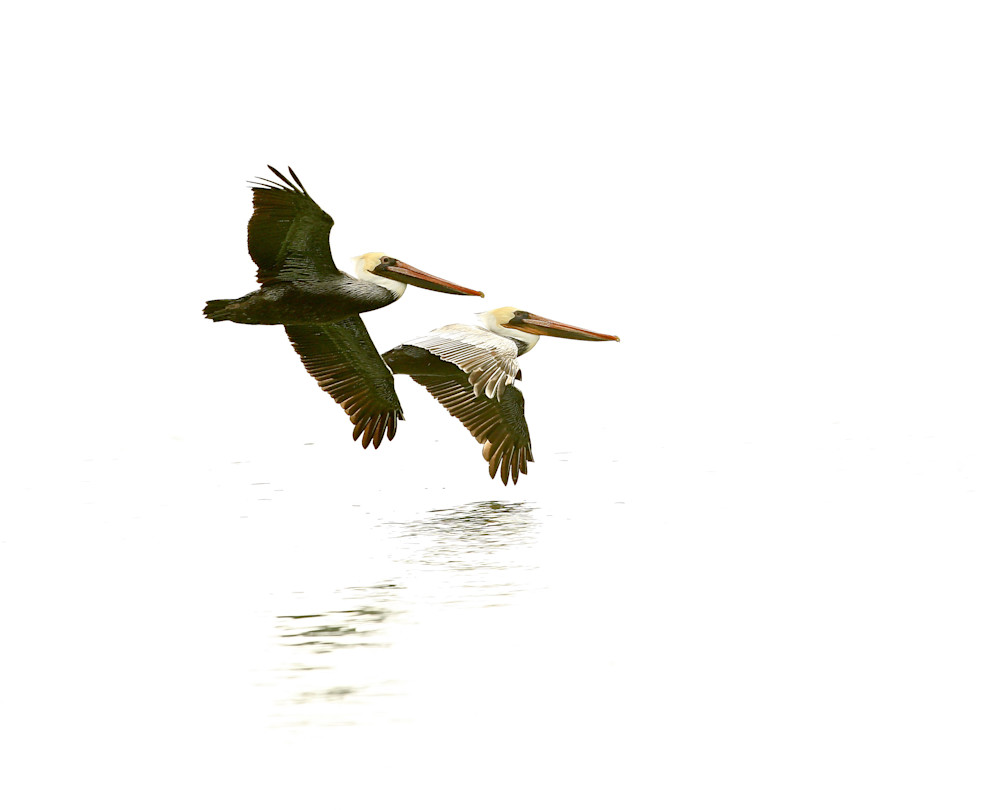 """Pelicans in Flight"""