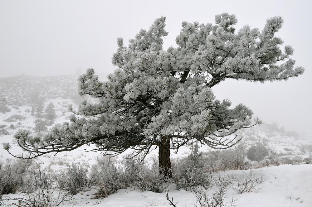 Frozen Ponderosa (Pinus ponderosa)