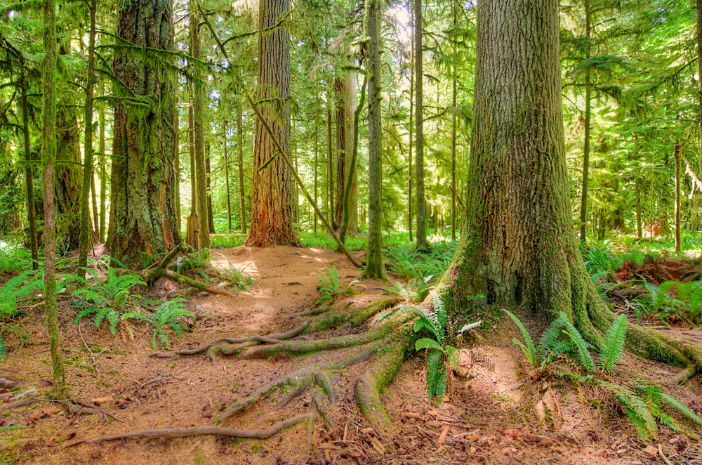 Cathedral Grove Photograph for Sale as Fine Art.