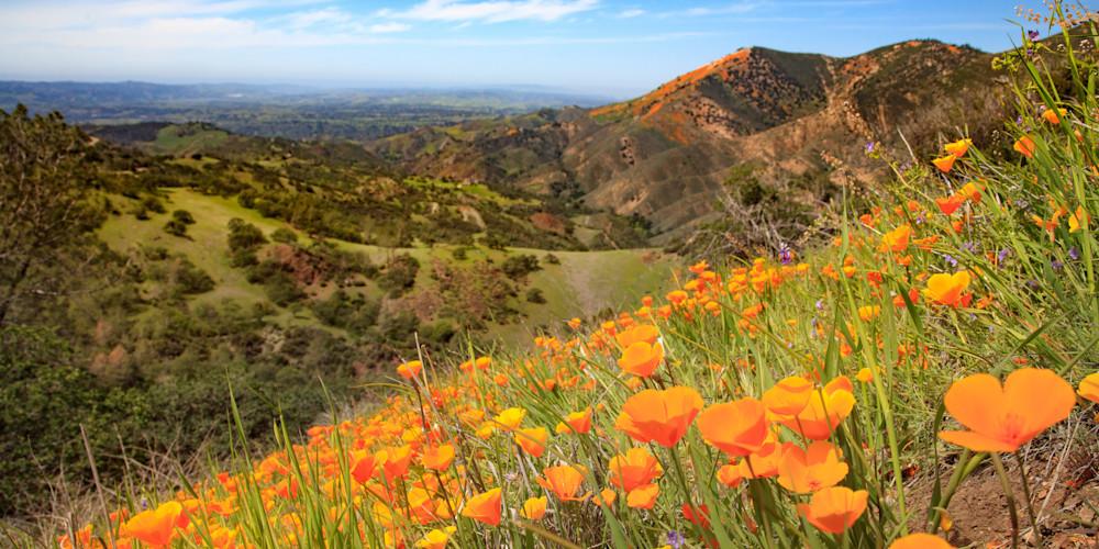 """Figueroa Mountain Poppies"""