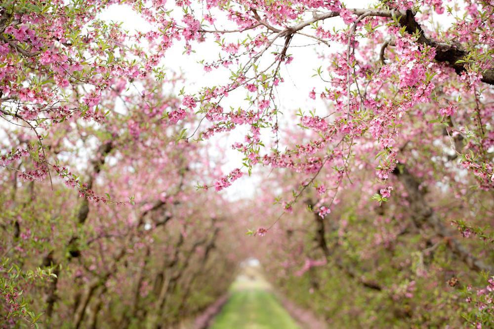 """""""Spring Blossoms"""""""