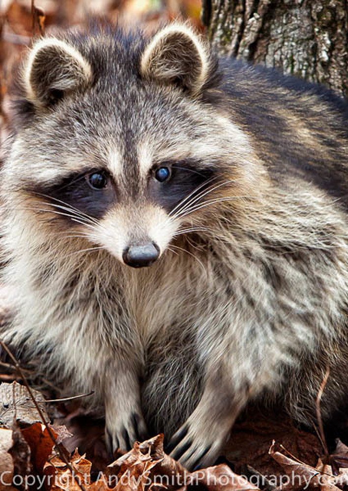 juvenile raccoon fine art photograph
