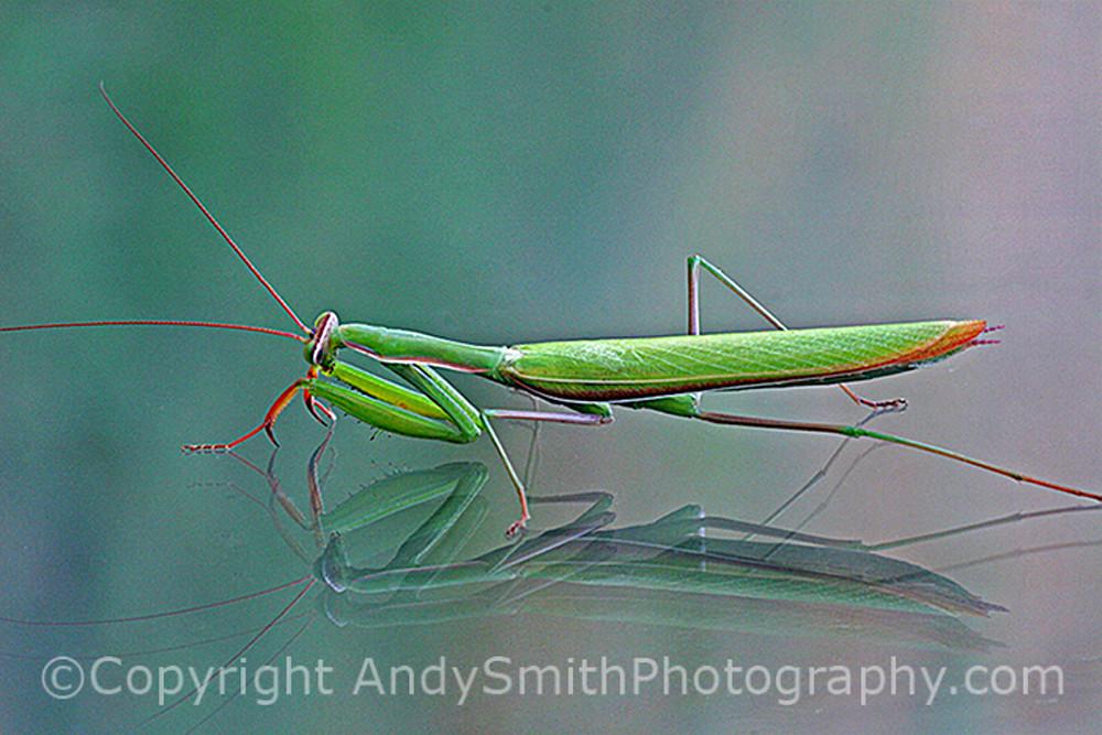 Praying Mantis fine art photograph