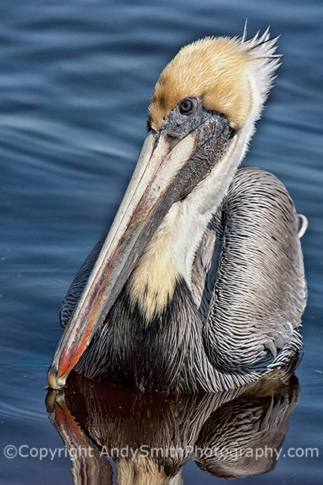 Brown Pelican portrait fine art photograph
