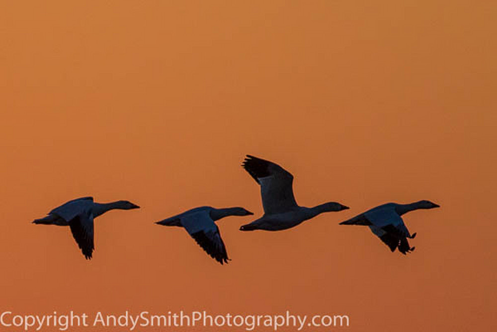 four snow geese at sunrise fine art photograph
