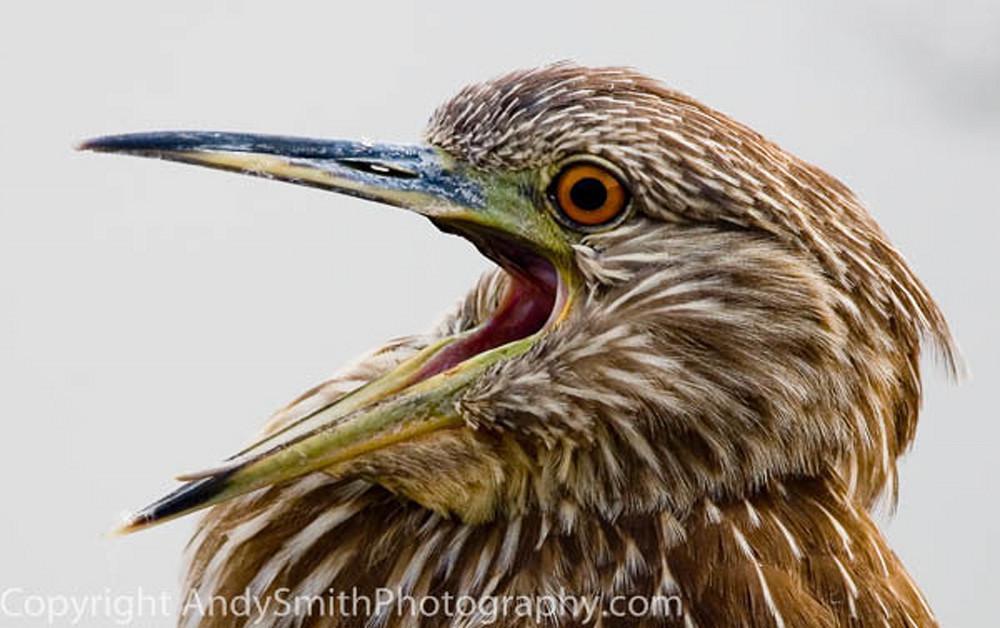 Black-crowned Night Heron fine art photograph