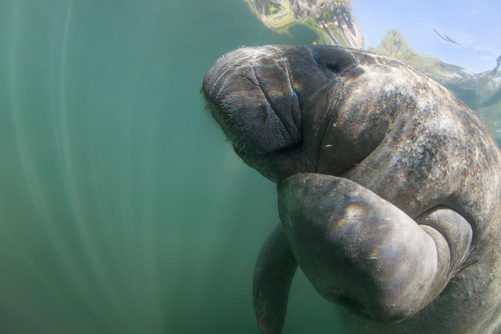 Underwater manatee photograph