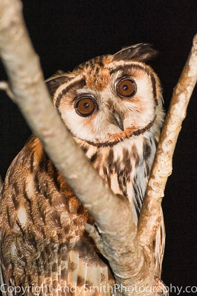 Striped owl fine art photograph