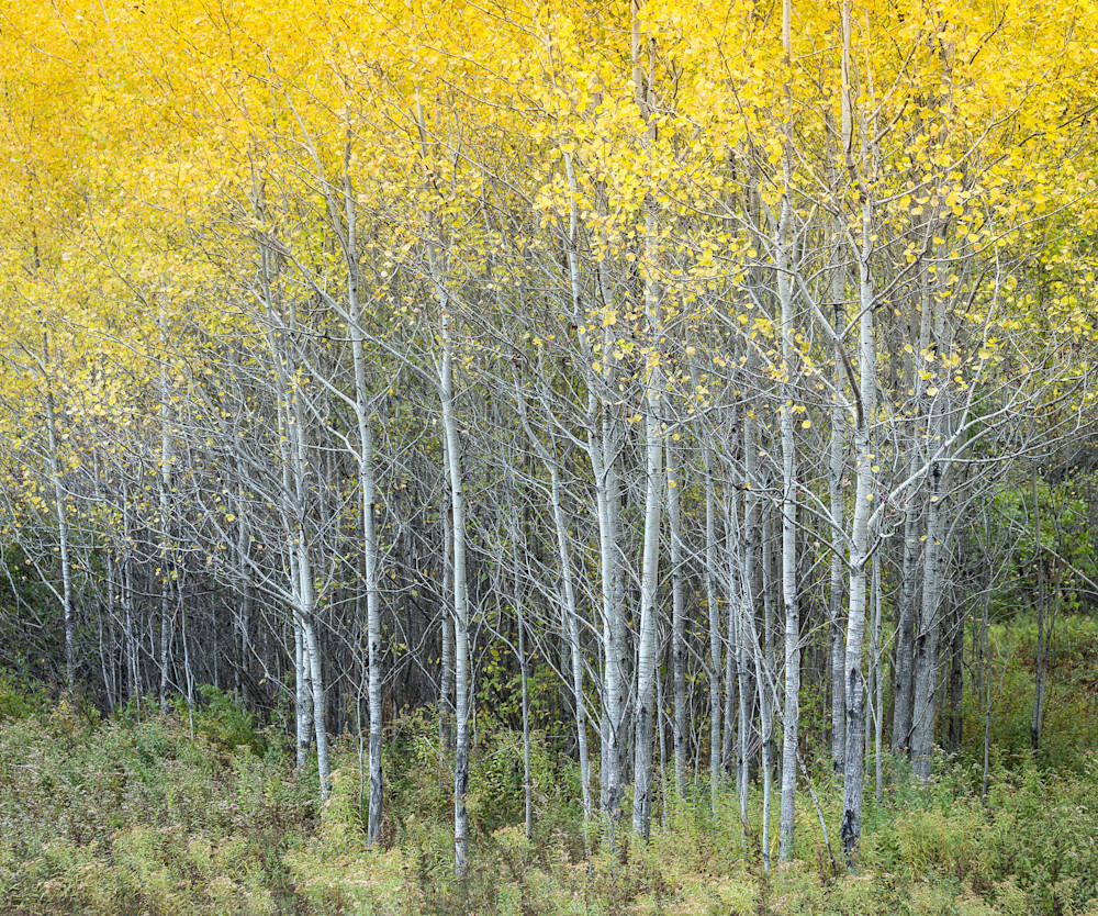 Peter Wnek photographed a stand of birch trees during the vibrant fall foliage season of Connecticut.