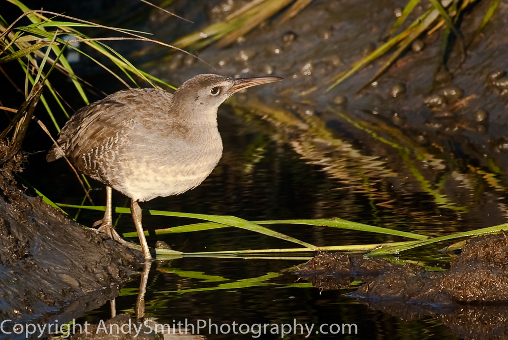 Clapper Rail at Sunset fine art photograph