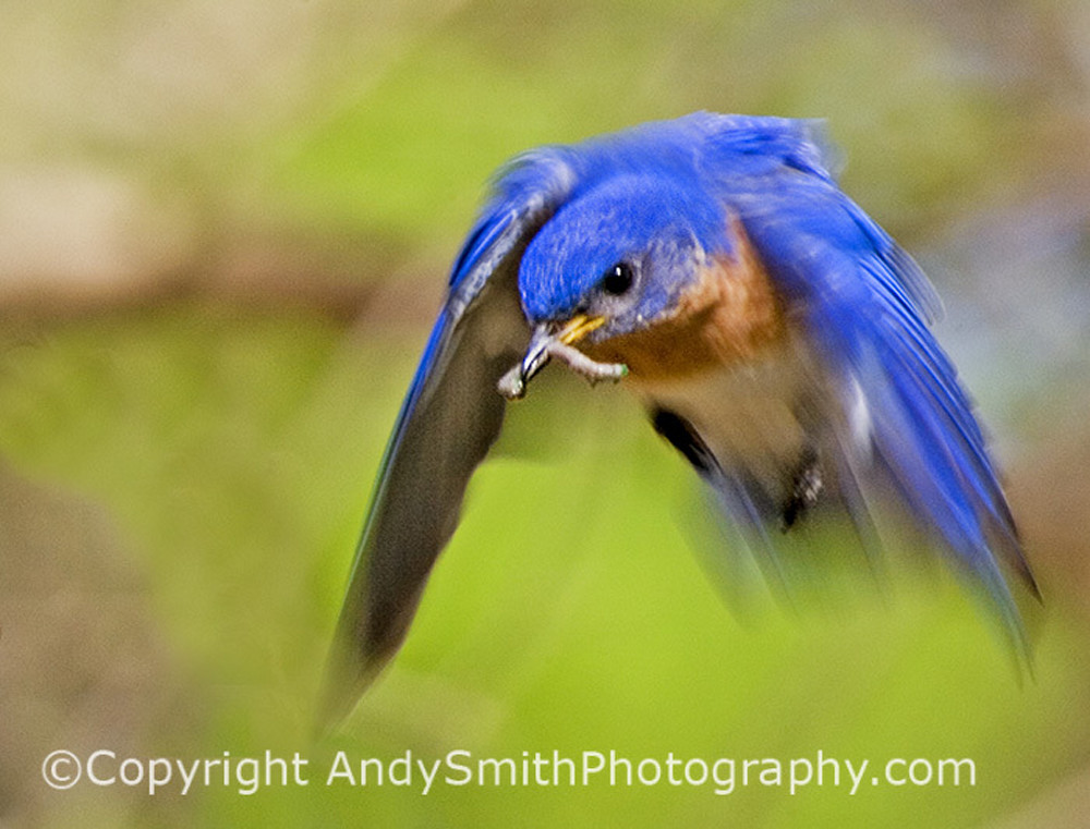 Eastern Male Bluebird in Flight fine art photograph
