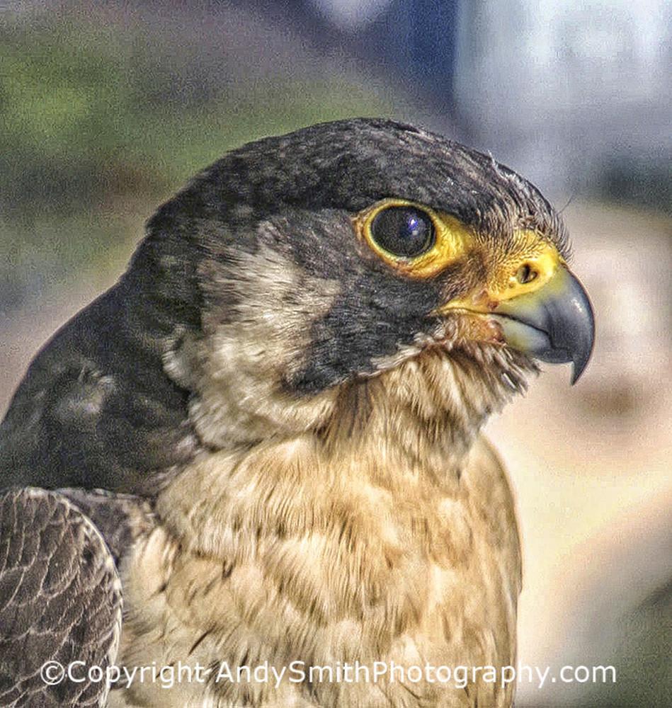 Peregrine Falcon Side Portrait fine art photograph