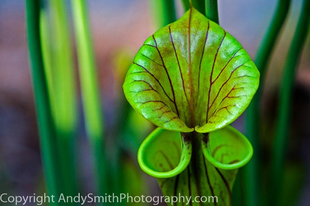 fine art photograph of Pitcher Plant