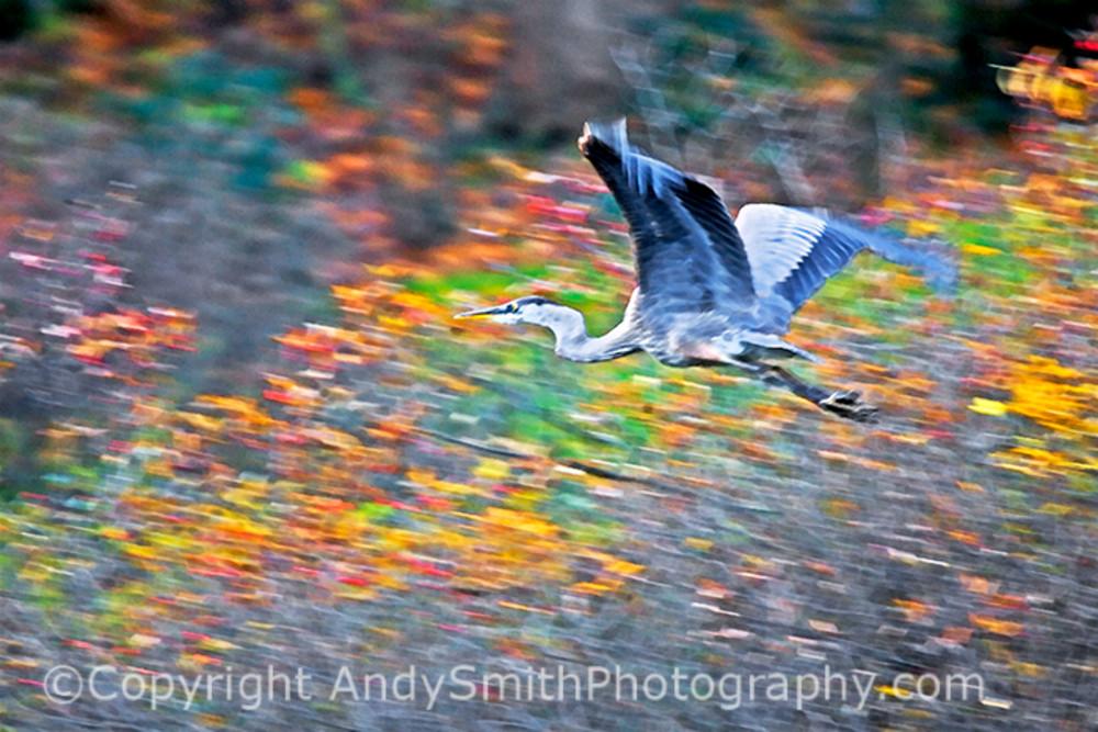 Great Blue Heron Blur fine art photograph