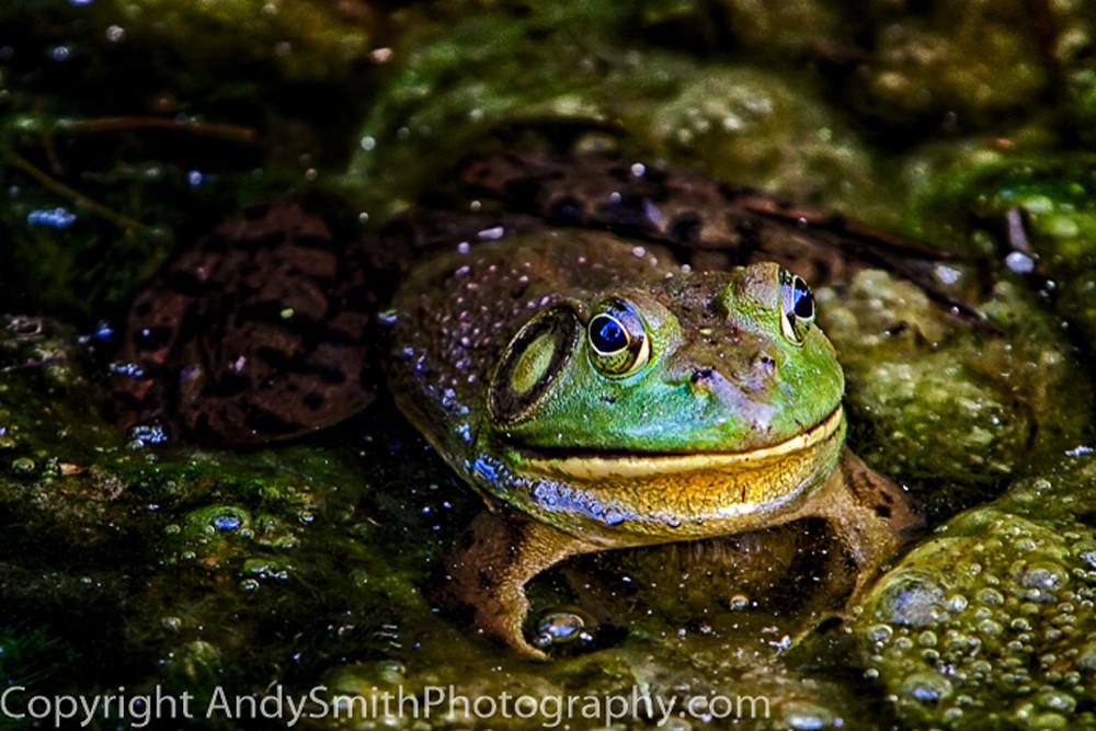 American Bullfrog fine art photograph
