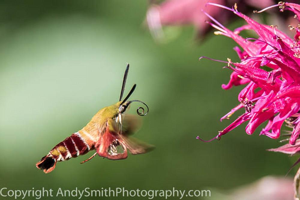 Hummingbird Moth Hovering  fine art photograph