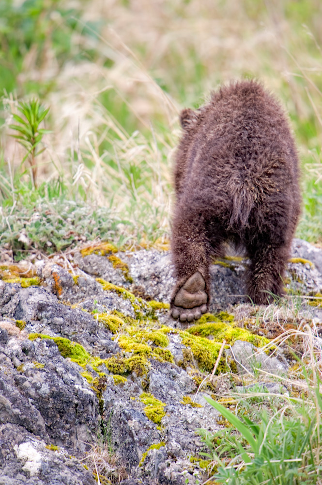 Bear Foot - Katmai Wilderness, Alaska