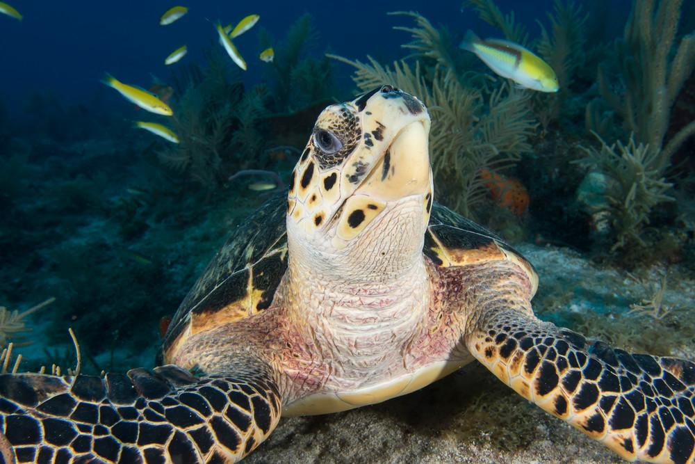 UW 369: Sea Turtle, Key Largo, Florida Keys