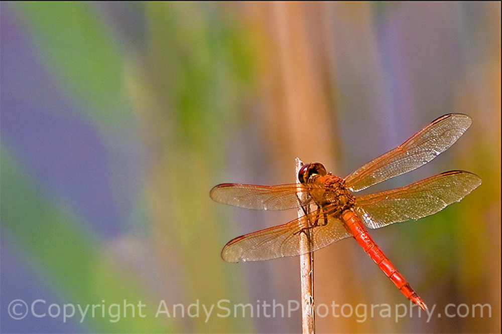 Golden-winged Skimmer fine art photograph