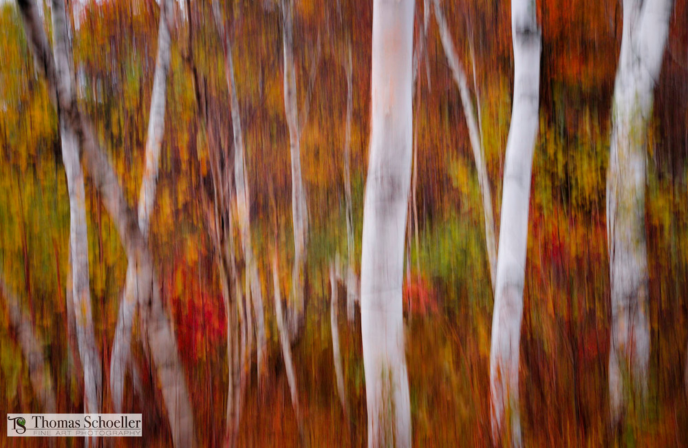 An abstract painterly fine art print of Vermont's white birch forest