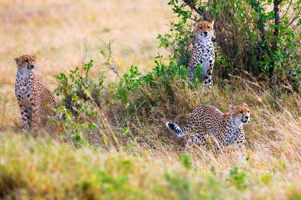 Cheetahs 011 Photography Art | Cheng Yan Studio