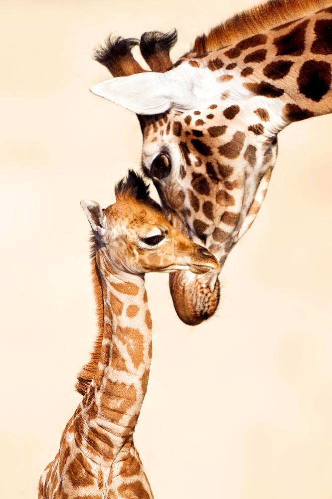 Giraffes 003 Photography Art | Cheng Yan Studio