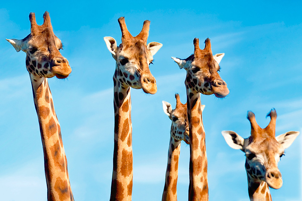 Giraffes 010 Photography Art | Cheng Yan Studio