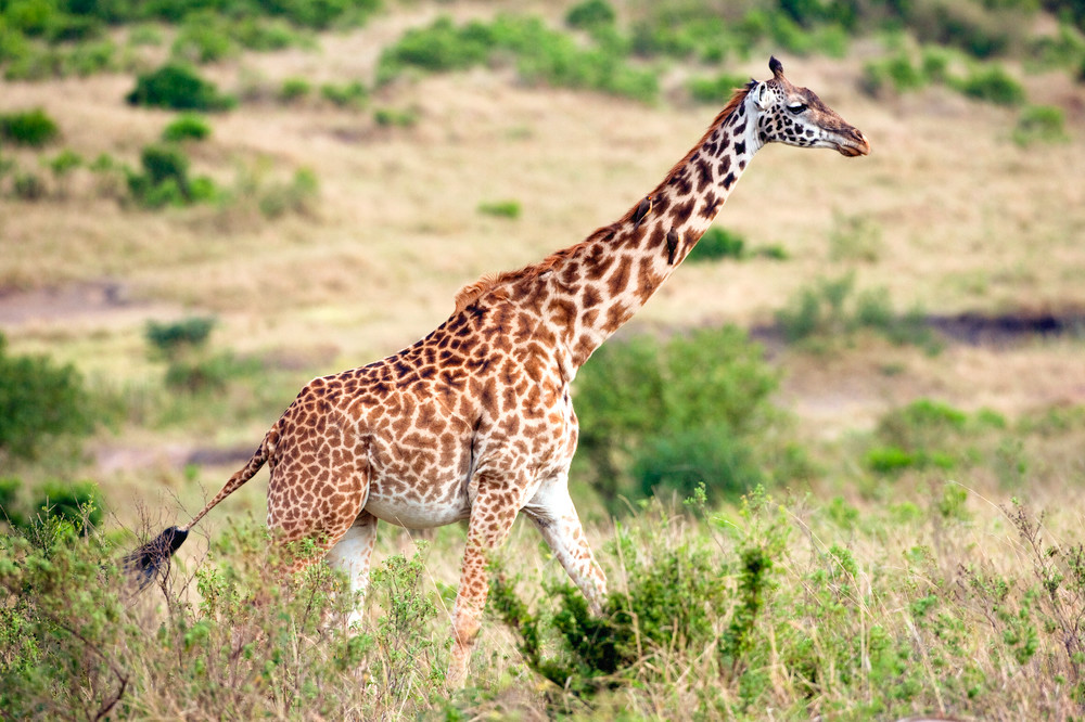 Giraffes 014 Photography Art   Cheng Yan Studio