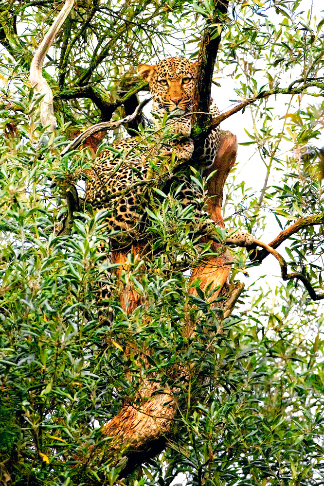 Leopards 008 Photography Art | Cheng Yan Studio