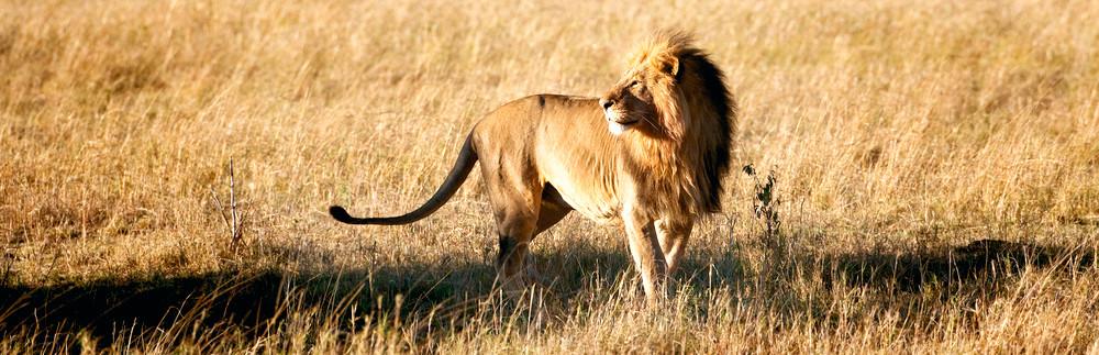 Lions 016 Photography Art   Cheng Yan Studio