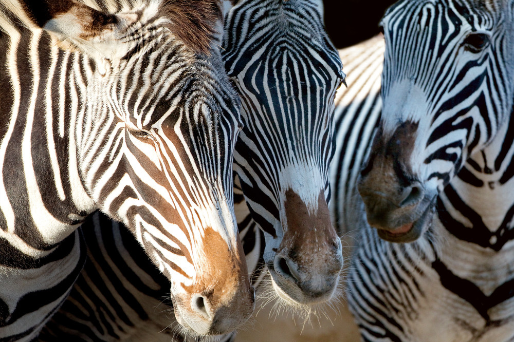 Zebras 007 Photography Art | Cheng Yan Studio