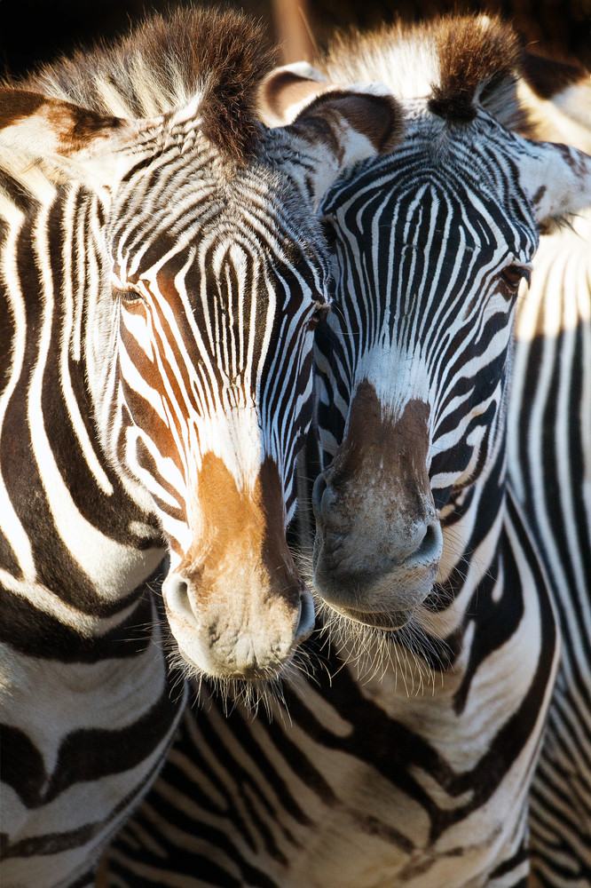 Zebras 008 Photography Art   Cheng Yan Studio