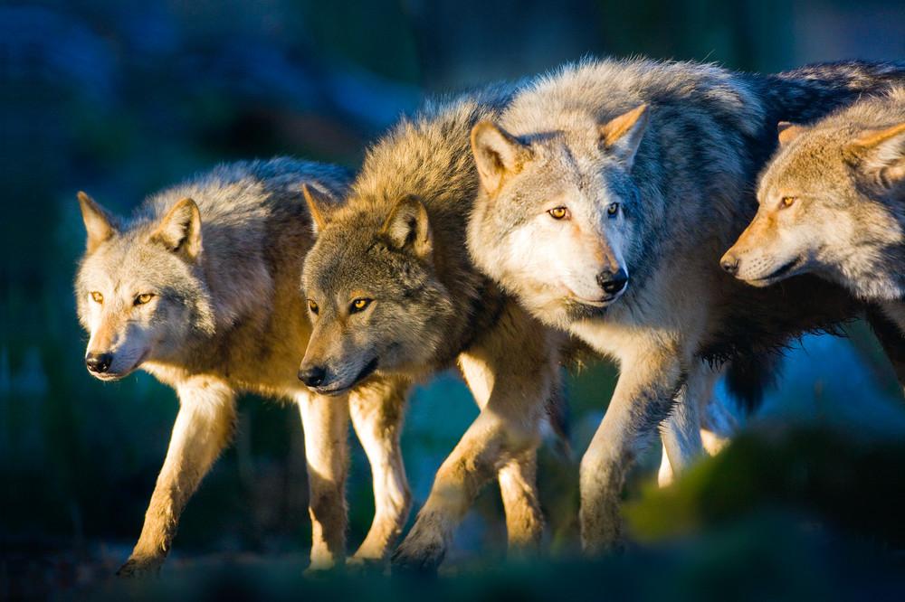 Wolves 001 Photography Art | Cheng Yan Studio