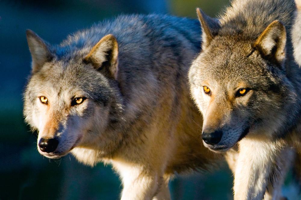 Wolves 002 Photography Art   Cheng Yan Studio