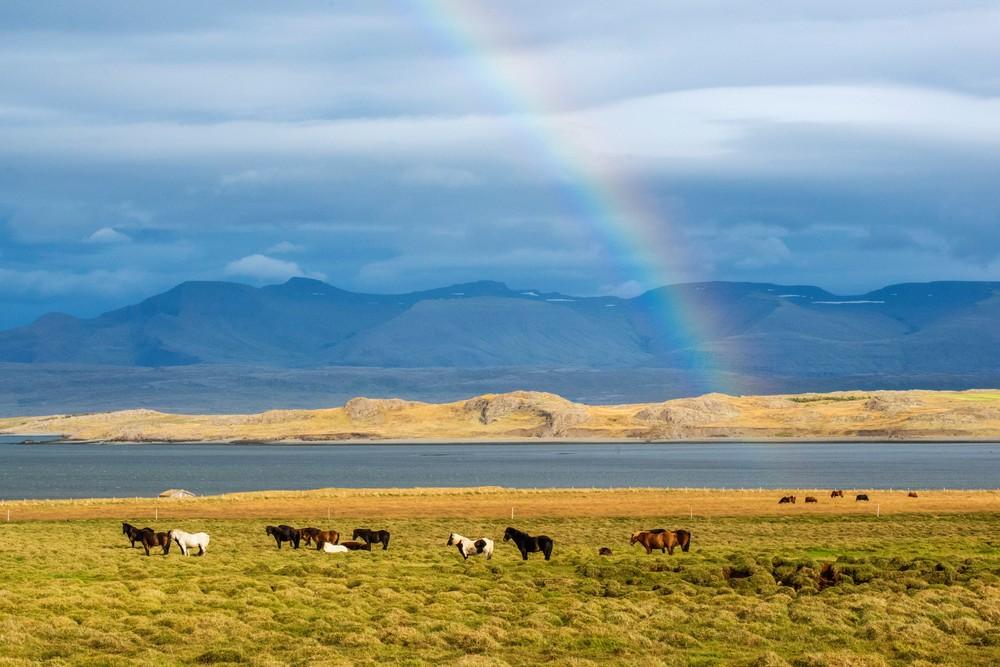 Icelandic Horses under a rainbow, Iceland art print