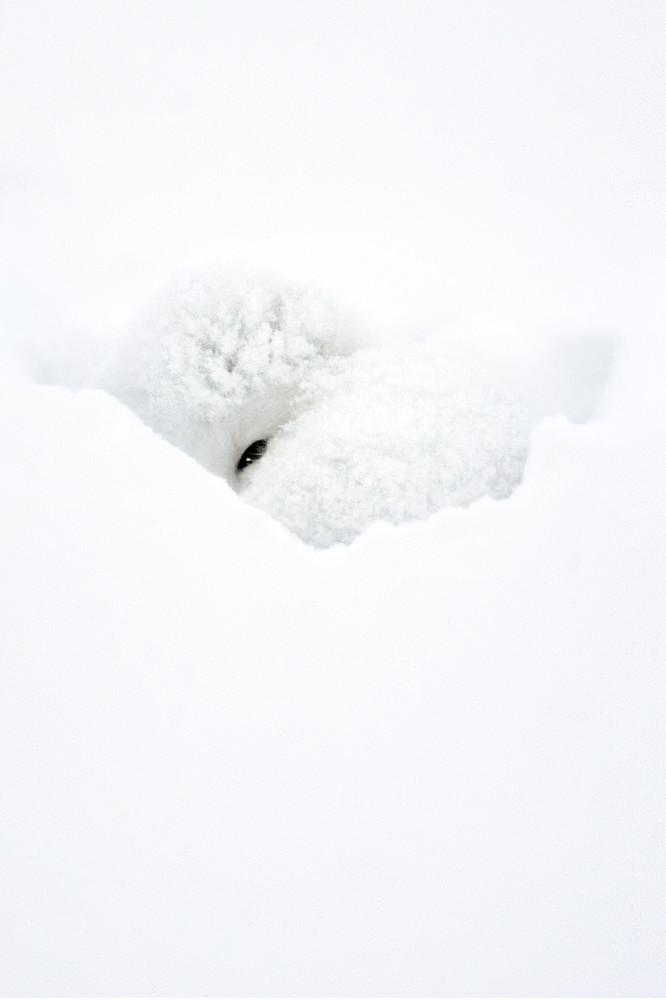 Arctic Foxes 003 Photography Art   Cheng Yan Studio