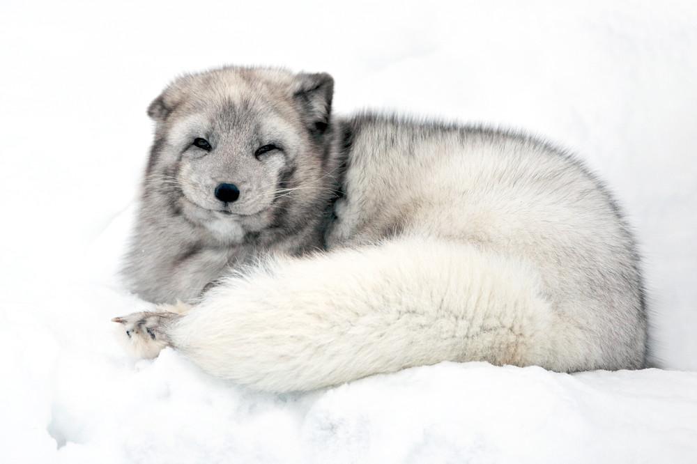 Arctic Foxes 009 Photography Art   Cheng Yan Studio