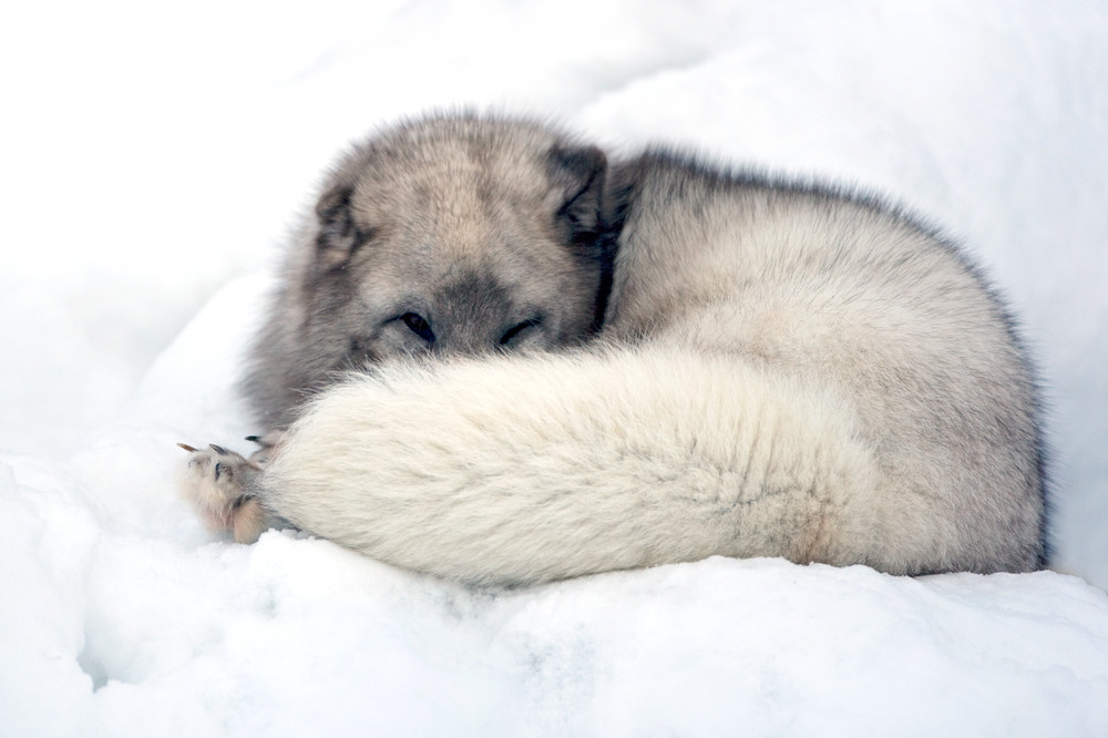 Arctic Foxes 010 Photography Art   Cheng Yan Studio