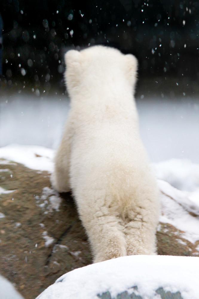 Polar Bears 029 Photography Art | Cheng Yan Studio