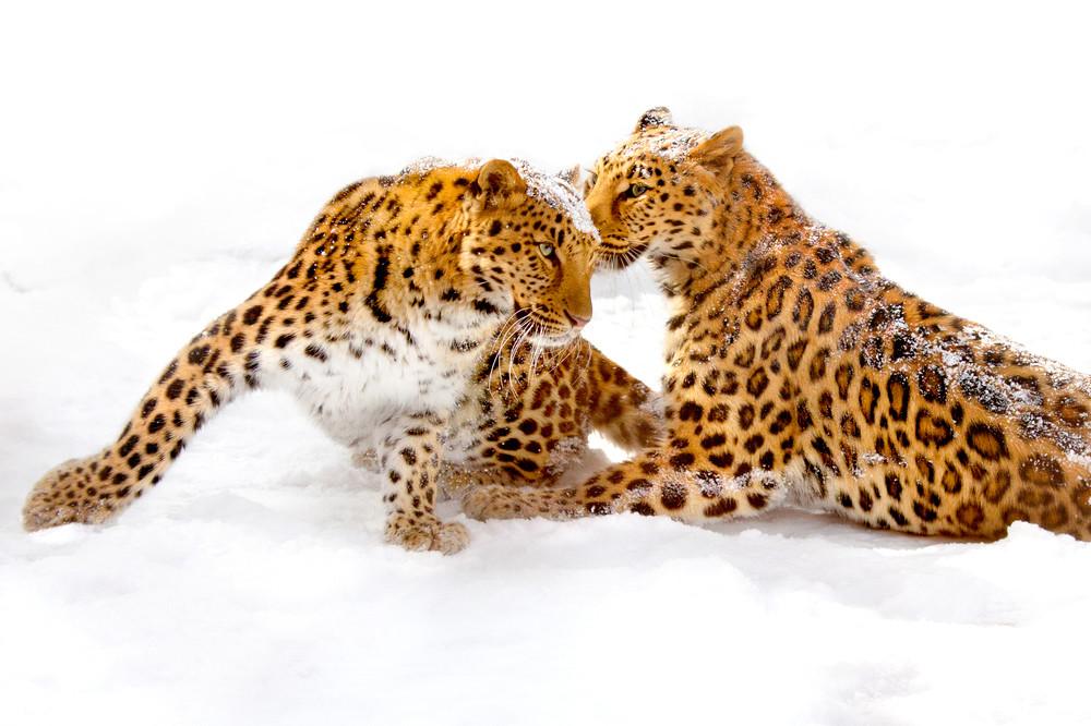 Amur Leopards 009 Photography Art | Cheng Yan Studio