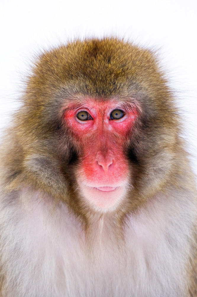 Japanese Macaques 006 Photography Art | Cheng Yan Studio